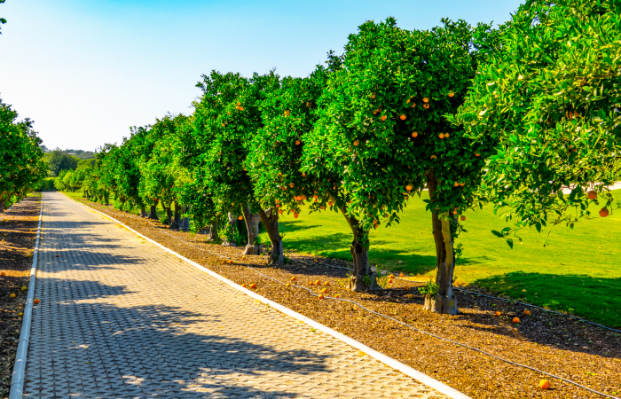 Orange trees in the Laranjal Golf Course