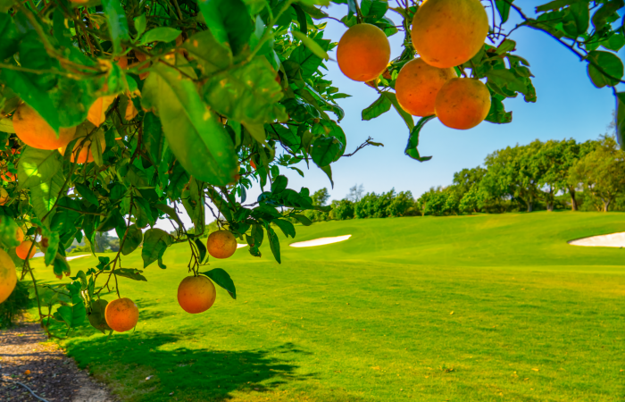 Orange tree with oranges and Laranjal Golf Course on the right side